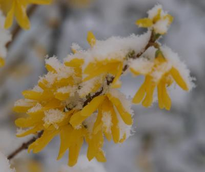 Daily photo - Snow Capped Forsythia